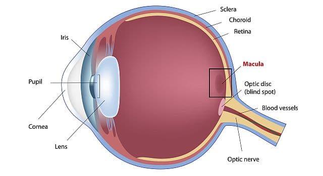 макула глаза